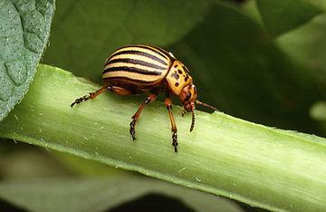 Escarabat adult